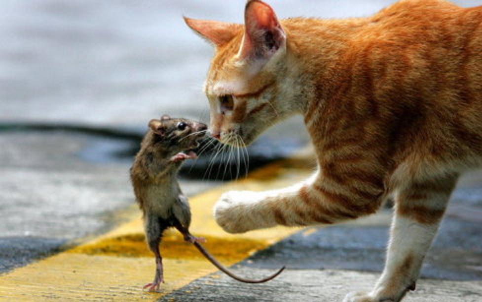 Прикольные картинки коты с мышами