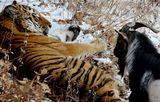 Журналист-путешественник предрек тигру Амуру смерть от панкреатита