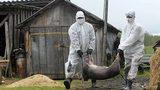 На Украине со страшной быстротой распространяется вирус АЧС
