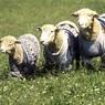 14 тысяч овец утонули, не сумев выбраться из клеток на перевернувшемся корабле