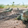 Ураганы «Ирма» и «Мария» спровоцировали ускоренную эволюцию видов карибских рептилий
