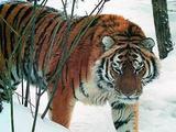 Житель Хабаровского края застрелил амурского тигра во время охоты