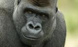 Директор зоопарка: Убийство гориллы ради малыша было необходимым
