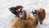 Сколько стоит коза?  В Кировской области -  миллион