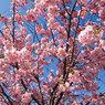 В Японию пришла весна: зацвела сакура