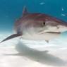 Житель Австралии оседлал тигровую акулу (ВИДЕО)