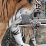 Таиланд: австралийского туриста покусал тигр