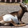 В Японии можно арендовать живую козу