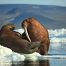 Уголовное дело возбуждено по факту забоя десятков моржей на Чукотке
