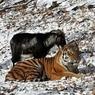 Тигр Амур сурово наказал козла за троллинг (ВИДЕО)