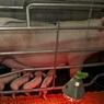 Американский Минсельхоз подсчитал: Производство свинины в РФ выросло на 26%