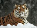 Спасенного в Амурской области тигра разместят в сафари-парке
