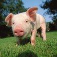 Свиньи-мутанты будут поставлять донорские органы людям