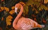 В Якутию залетел фламинго