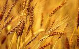 Турция решила ввести жесткие ограничения на ввоз пшеницы из РФ