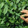 Создан туристический маршут на чайные плантации Адыгеи