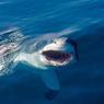 Акулы приплыли в Британию на секретный саммит (ВИДЕО)