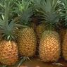 Полиция Испании обнаружила двести килограммов кокаина в ананасах