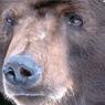 Медведь напал на сотрудницу метеостанции в Якутии