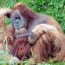 На видео попал трагический момент борьбы орангутана с экскаватором, вырубающим лес