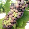 На Ставрополье развивают винный туризм