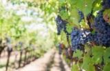 Виноделы из Германии заявили о нехватке бутылок