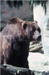 В томском городе Колпашево очевидцы засняли, как медведь качается на качелях ВИДЕО