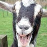Тигр Амур и козёл Тимур начинают конкуренцию с «Домом-2»