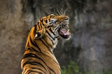 Сотрудник зоопарка остался без рук, пытаясь искупать тигра