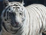 Голубоглазый блондин Маркиз обворожил двух местных тигриц во владивостокском зоопарке