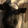 Травмированный козел Тимур идет на поправку