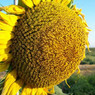 Россельхознадзор может запретить украинские семечки