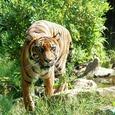 В Калининградском зоопарке амурский тигр напал на сотрудницу