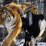 Амура и Тимура разлучили из-за сестрицы-тигрицы