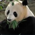 Россиянам запретят держать дома панд, гиен и фламинго