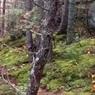 """""""Дыхание"""" леса: в Канаде удалось снять на видео необычную оптическую иллюзию"""