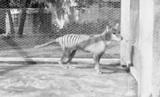 Опубликовано видео с последним тасманским тигром на планете