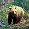 В Вологодской области автомобиль сбил медведя