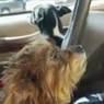 В Соединенных Штатах две собаки угнали машину хозяйки, но далеко уехать не смогли