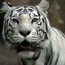 Из бродячего цирка в Италии бенгальский тигр сбежал от хозяев