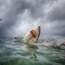 Катастрофа в море: акулы превращаются в свиней  (ФОТО)