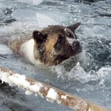 В соцсетях набирают популярность ролики со спасением тонущих во льдах собак