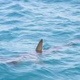 Доисторическую акулу выловили у берегов Португалии