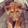 В одном из домов Нальчика живёт настоящий лев (ФОТО)
