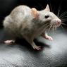 Тюменская семья выпила молоко и обнаружила на дне упаковки дохлую крысу