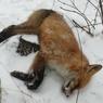 В ряде сел Калужской области введен карантин из-за бешенства лис