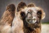 Дрессировщица Запашная  упала с верблюда, сильно разбив лицо