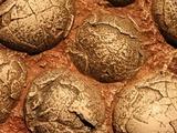 В Китае найдены окаменевшие эмбрионы неизвестных животных