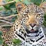 Мужчина голыми руками убил леопарда, защищая маленькую дочь и жену