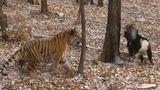 Дружба с тигром Амуром может довести козла Тимура до ожирения
